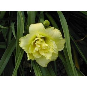 Hemerocallis 'Cabbage Flower' / Päevaliilia 'Gabbage Flower' *