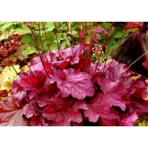 Heuchera 'Berry Smoothie' / Helmikpööris 'Berry Smoothie'