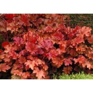 Heuchera 'Peach Flambe' / Helmikpööris 'Peach Flambe'