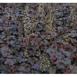 Heuchera americana 'Palace Purple' / Ameerika helmikpööris 'Palace Purple'