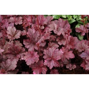 Heuchera 'Midnight Rose' / Helmikpööris 'Midnight Rose'