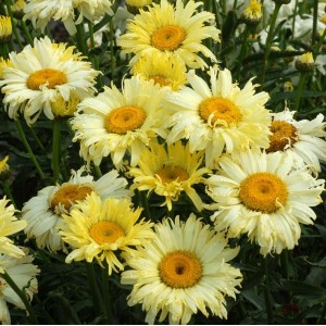 Leucanthemum x maximum 'Goldfinch' / Härjasilm 'Goldfinch'