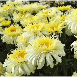 Leucanthemum x maximum 'Real Charmer' / Suur härjasilm 'Real Charmer'
