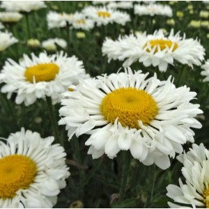 Leucanthemum x maximum 'Real Neat' / Suur härjasilm 'Real Neat'