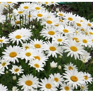 Leucanthemum x maximum 'Snow Lady ' / Suur härjasilm 'Snow Lady'