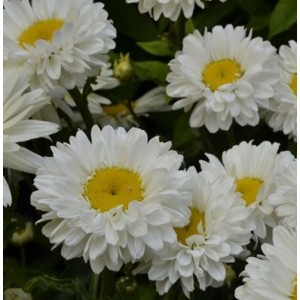 Leucanthemum x maximum 'Victorian Secret' / Härjasilm 'Victorian Secret'
