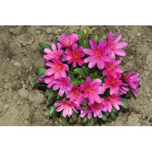 Lewisia longipetala 'Little Raspberry' / Pikalehine leviisia 'Little Raspberry'
