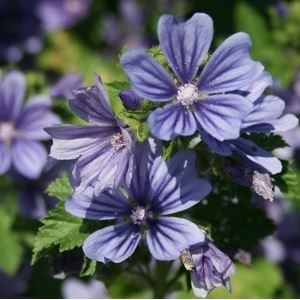 Malva sylvestris 'Primley Blue' / Mets-kassinaeris 'Primley Blue'