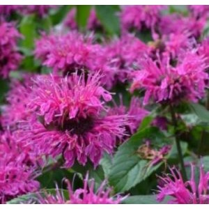 Monarda didyma 'Knight Purple' / Aedmonarda 'Knight Purple'