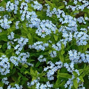 Myosotis sylvatica 'Victoria Light-blue' / Mets-lõosilm 'Victoria Light-blue'
