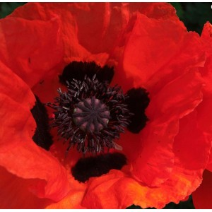Papaver orientale 'Beauty of Livermere' / Idamagun 'Beauty of Livermere'