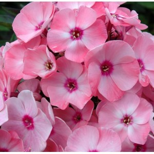Phlox paniculata 'Sweet Summer Queen' / Aed-leeklill 'Sweet Summer Queen'