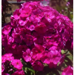 Phlox paniculata 'The King' / Aed-leeklill 'The King'
