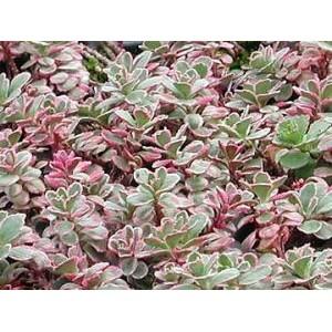 Sedum spurium 'Tricolor' / Roomav kukehari 'Tricolor'