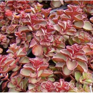 Sedum spurium 'Purpur Winter' / Roomav kukehari 'Purpur Winter'