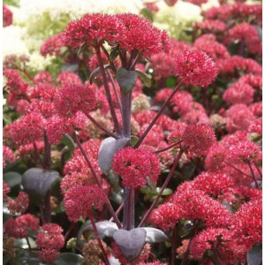 Sedum 'Red Cauli' / Kukehari 'Red Cauli'