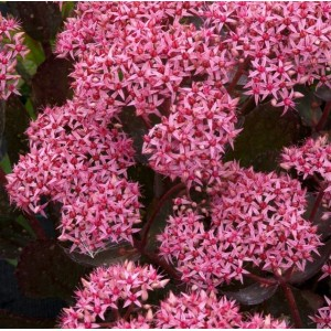 Sedum telephium 'Cloud Walker' / Verev kukehari 'Cloud Walker'