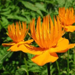 Trollius chinensis 'Golden Queen' / Hiina kullerkupp 'Golden Queen'