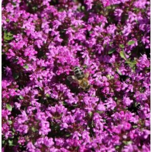 Thymus praecox 'Creeping Red' / Varane liivatee 'Creeping Red'
