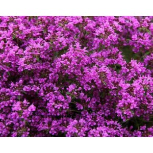 Thymus praecox 'Red Carpet' / Varane liivatee 'Red Carpet'
