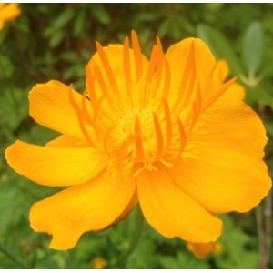 Trollius 'Prichard's Giant' / Kullerkupp 'Prichard's Giant'