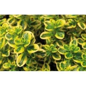 Thymus citriodorus 'Aureus' / Sidrun-liivatee 'Aureus'