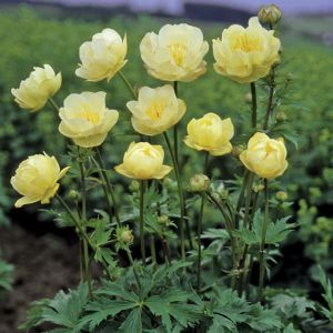 Trollius x cultorum 'New Moon' / Aed-kullerkupp 'New Moon'