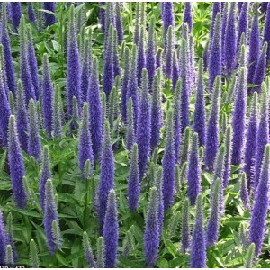 Veronica spicata 'Blue Candles' /  Kassisaba 'Blue Candles'