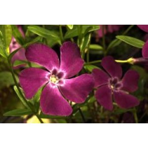 Vinca minor 'Verino' / Väikseim igihali 'Verino'