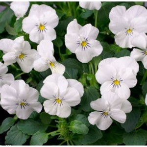 VIOLA cornuta 'White Perfection' / Sarvkannike 'White Perfection'