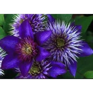 Clematis 'Multi Blue' / Elulõng 'Multi Blue'