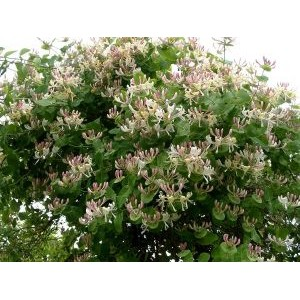Lonicera caprifolium / Lõhnav kuslapuu