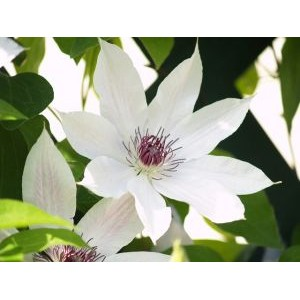 Clematis 'Snow Queen' / Elulõng 'Snow Queen'
