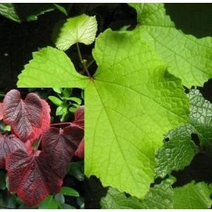 Vitis amurensis / Amuuri viinapuu
