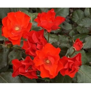 Rosa 'Amsterdam',  floribundroos