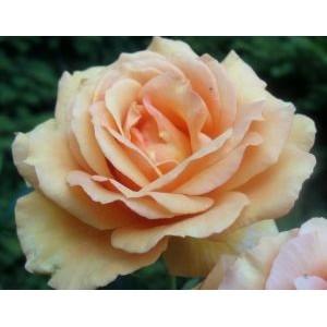 Rosa 'Ashram', antiikroos
