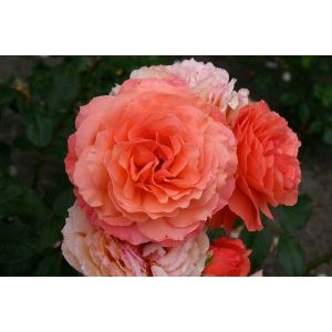 Rosa 'Belvedere', põõsasroos