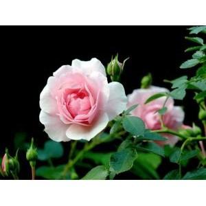 Rosa 'Bonica',  floribundroos