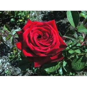 Rosa 'Burgund', teehübriidroos