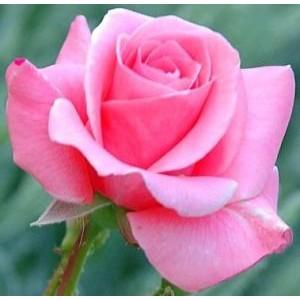 Rosa 'Carina', teehübriidroos
