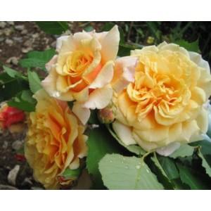 Rosa 'Caramella', põõsasroos