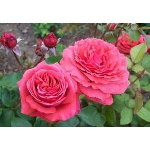 Rosa 'Duftwolke', teehübriidroos