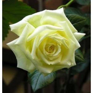 Rosa 'Elfe', väänroos
