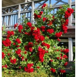 Rosa 'Flammentanz', väänroos