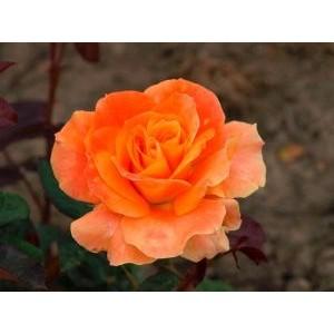 Rosa 'Flora Danica', teehübriidroos