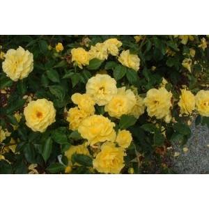 Rosa 'Friesia', floribundroos