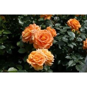Rosa 'Goldelse', floribundroos