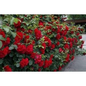 Rosa 'Hansaland', pargiroos