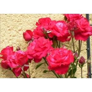 Rosa 'Heidelberg', väänroos