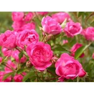 Rosa 'Lovely The Fairy', pinnakatteroos